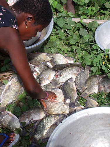 Various tilapia species caught from Lake Volta, Ghana. Photo by Curtis Lind, 2009.