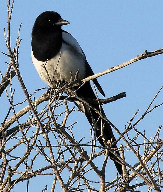 Black-billed Magpies