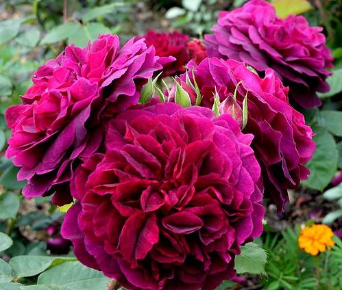 roses munstead wood flickr photo sharing. Black Bedroom Furniture Sets. Home Design Ideas