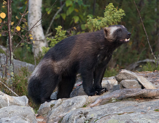 photo of a wolverine