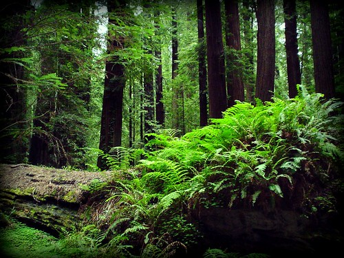 California Redwoods | by CTaylor100