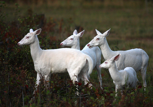 "Our Royal Family    ""Four Wild Albino Whitetail Deer"" 