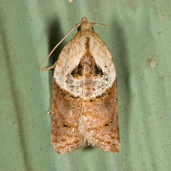 Acleris robinsoniana (T) 20080806_3344 | by GORGEous nature