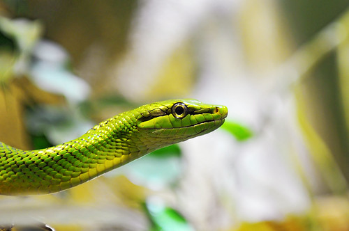 Portrait of a green snake | by Tambako the Jaguar
