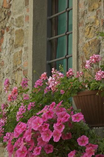 Pink Flowers in Volpaia | by angelabrown23