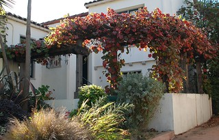 Vitis californica 'Rogers Red' - Rogers Red California Grape | by pete@eastbaywilds.com