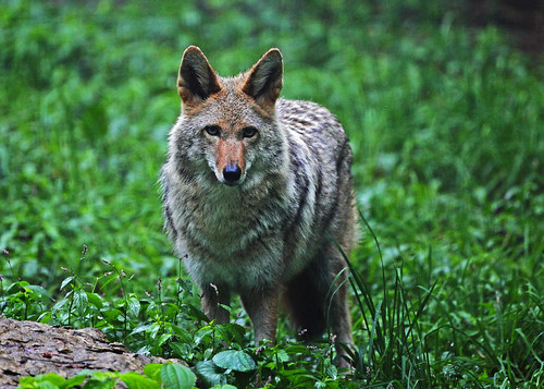 Coyote | by Todd Ryburn