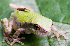 Gray Tree Frog | by guitar fish