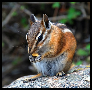 Chipmunk Chowing Down. | by BamaWester