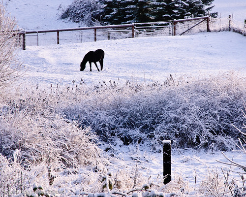 Horse Searching for Grass in the Snow | by Steve G. Bisig