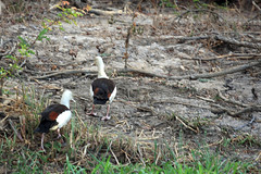 Radjah Shelducks