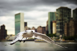 NYCgull | by Jörg Dickmann Photography