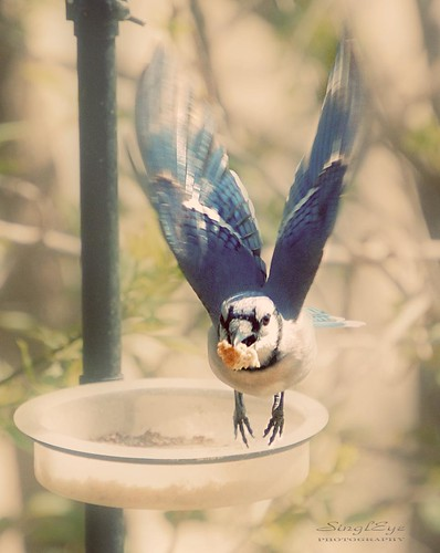 Blue Jay Action | by lauraathome2005 /SinglEye Photography