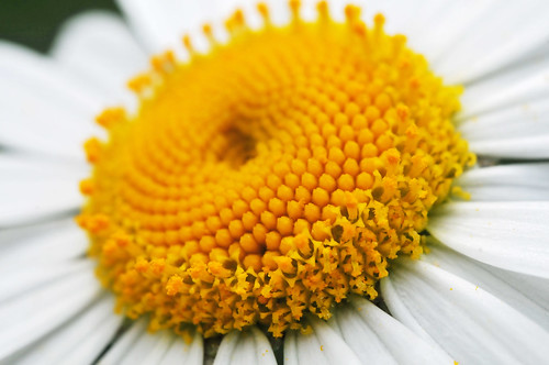 The center of a daisy | by Tambako the Jaguar