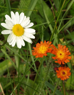 Ox Eye Daisies and Orange Hawkweed | by bo mackison