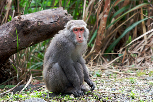Wild Formosan macaque (aka, rock monkey) in Taroko Gorge | by lightmatter