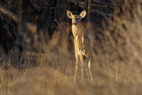 Deer | by Tony Tanoury
