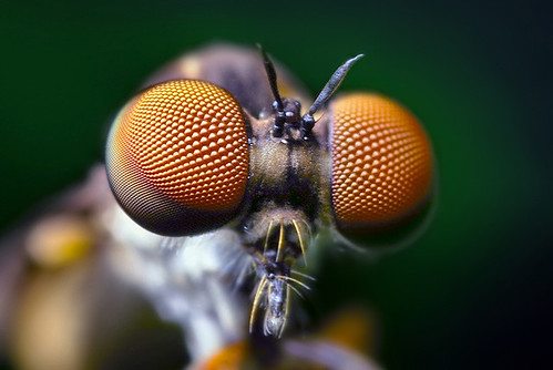 Compound Eyes of a Robber Fly - (Holcocephala fusca) | by Thomas Shahan
