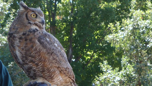 Great Horned Owl Eating a Mouse
