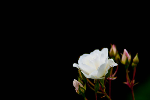 White roses bloom | by tibchris