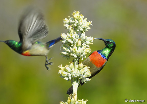 Greater Double-collared Sunbirds