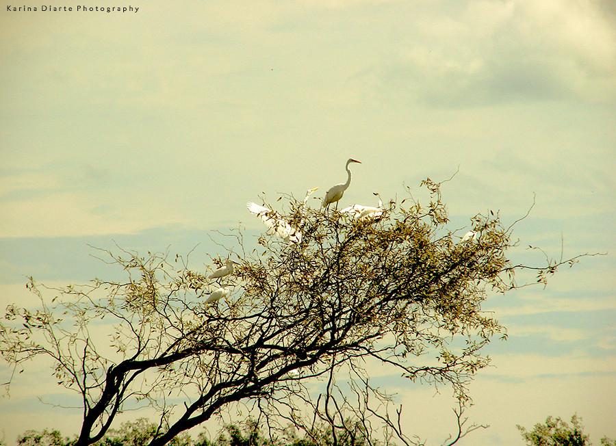 Garzas blancas – Ardea alba