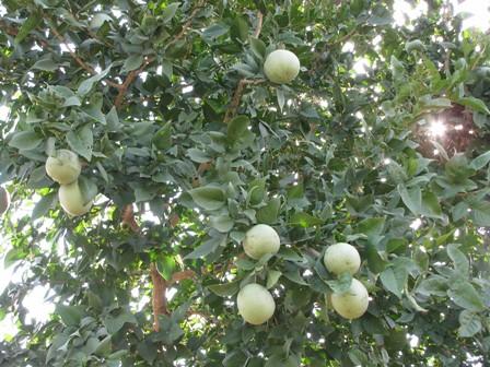 Aegle marmelos 'Bilva'