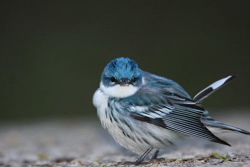 Cerulean Warbler | by chris.w.birder