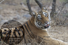 TIGERS: Bengal tiger | by Environmental Investigation Agency (EIA)