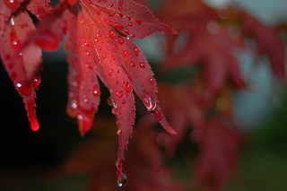 Rain Drops On Red Leaf | by Donald Vantine