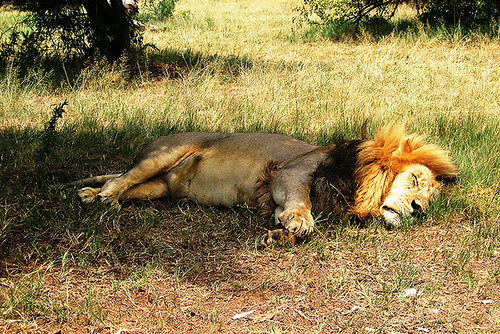 another sleepy lion | by nigsi-b
