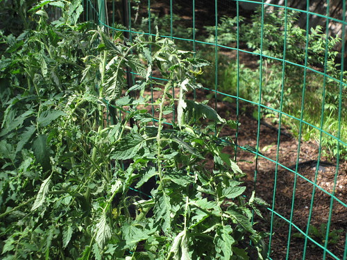 Tomatoes being trained vertically | by CAJC: in the Rockies