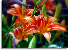 Hemerocallis  (daylily) | by The Gifted Photographer
