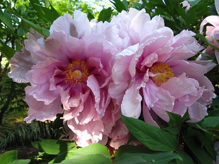 Tree Peonies | by Brooklyn Botanic Garden