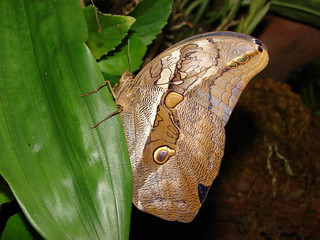 Owl Butterfly | by Laramie_Coyote