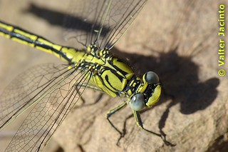 Gonfus‑gentil // Western Clubtail (Gomphus pulchellus), female | by Valter Jacinto | Portugal