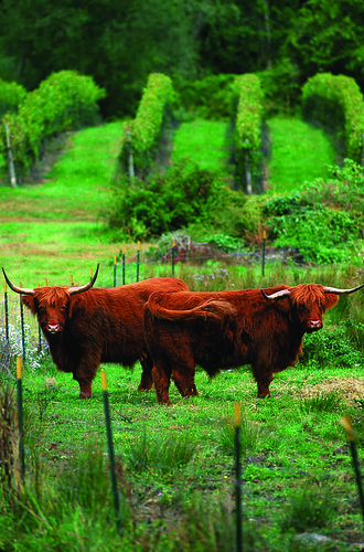 Greenvale Vineyard's pet Highland Steer | by Hungry Nomad Maps