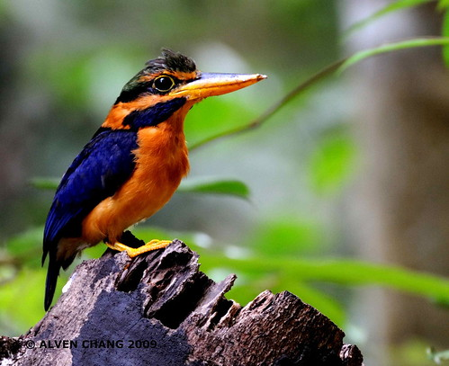 Rufous-collared Kingfisher ( M ) | by Alven Chang