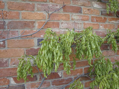 Limp Leafed Sick Wisteria | by James's GW Blog