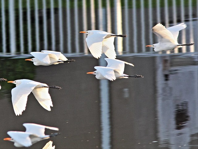Cattle Egrets 20131016