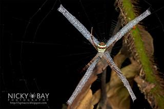 St Andrew's Cross Spider (Argiope versicolor) - DSC_6483