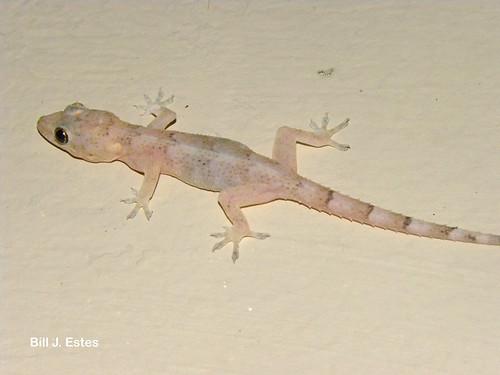 Bill Estes Com >> Tropical Gecko (Hemidactylus mabouia)   Collier-Seminole Sta…   Flickr
