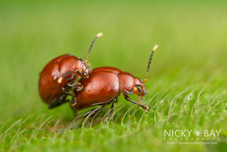 Mating leaf beetles (Chrysomelidae) - DSC_8138