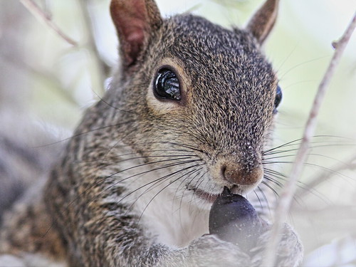 Gray Squirrel 20131215