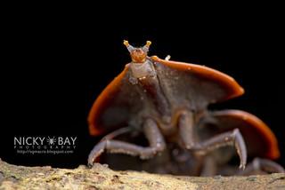 Trilobite beetle larva (Platerodrilus hoiseni) - DSC_9691