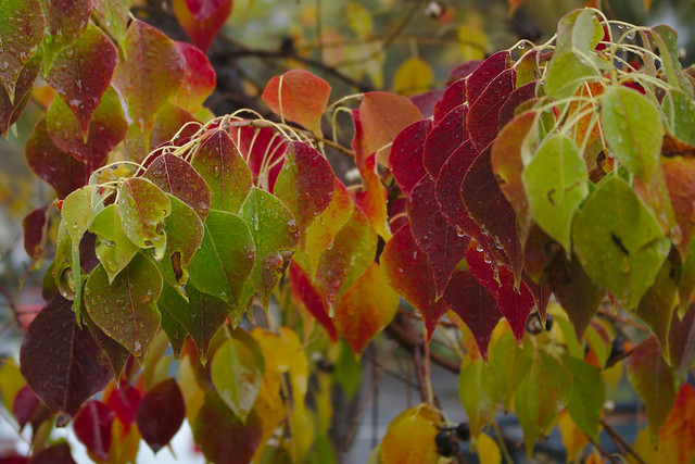 Autumn leaves in Rozelle
