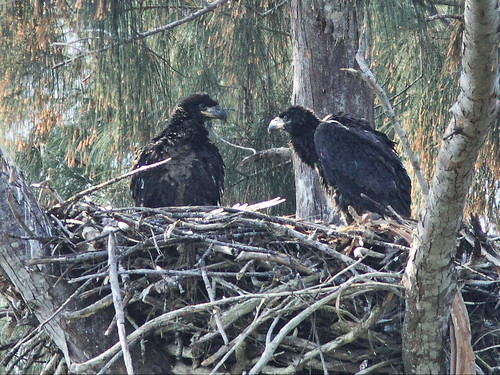 Bald Eaglets Glory and Honor at 45 days age 20140225