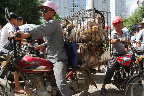 Dogs jumbled in cages are on the way to the market, Yulin 2015
