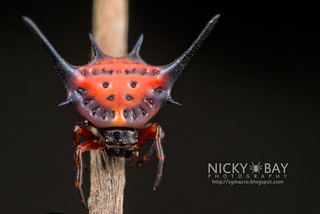 Spiny Orb Weaver (Gasteracantha dalyi?) - DSC_3458