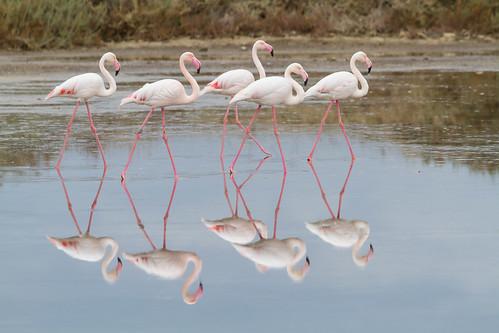 Flamingo (Phoenicopterus roseus) פלמינגו מצוי